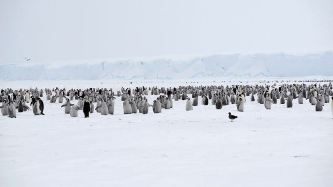 Third visit to a thriving penguin colony