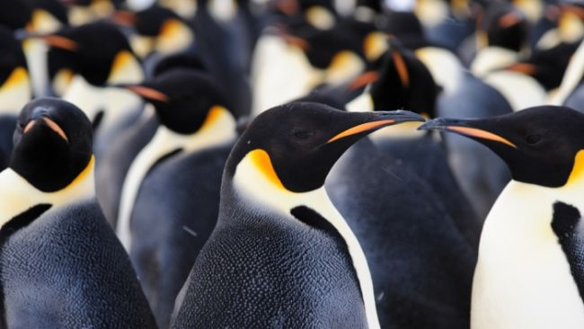 Emperor penguin colony discovered