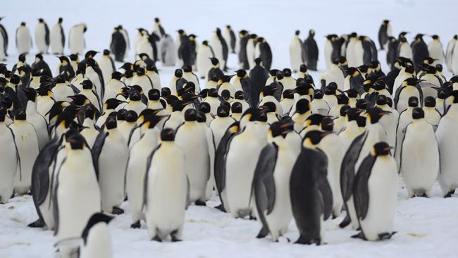 Images of the emperor penguin colony at the edge of the King Baudoin Ice Shelf - © International Polar Foundation / Jos Van Hemelrijck