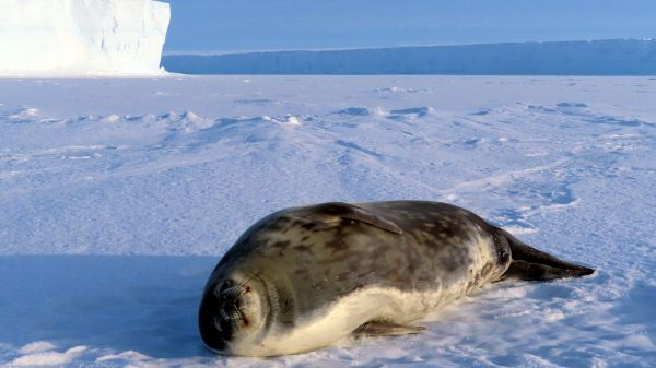 A Weddell seal rests on the sea ice. Weddell seals can swim and forage for food as deep as 600 metres for up to an hour. without having to comes up again for air. - © International Polar Foundation
