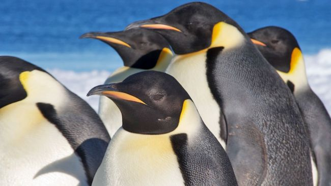 Close-up at Emperor penguins - © International Polar Foundation