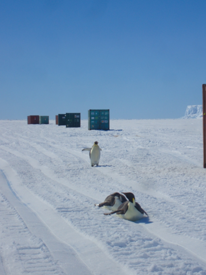 Emperor penguins sliding in the paths of the tractors and sleds.  - International Polar Foundation/Alain Hubert