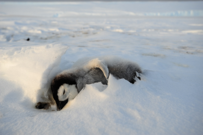 One that didn't make it. A dead penguin chick lies at in the snow. Only 19% of emperor penguin chicks survive their first year.  - International Polar Foundation/Alain Hubert