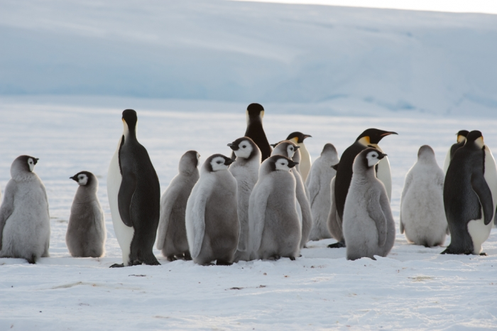 Adults and chicks at the newly-discovered 9,000-strong emperor penguin colony on Antarctica's Princess Ragnhild Coast. - International Polar Foundation/Alain Hubert