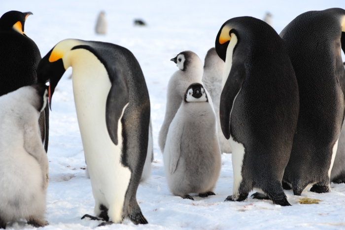 Emperor Penguins: Adults and chicks - International Polar Foundation/Alain Hubert